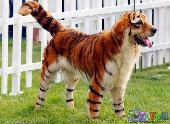 cao_tigre