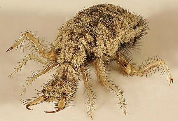 insetos-mais-aterrorizantes-natureza_3