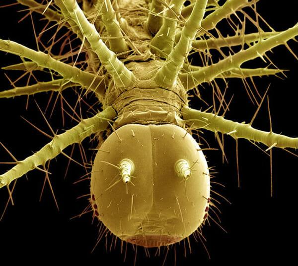 monstros-microscopios_12-taturana