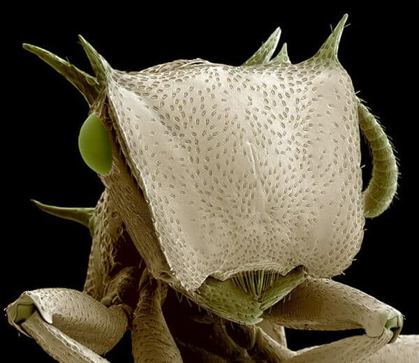monstros-microscopios_15-formiga-tartaruga