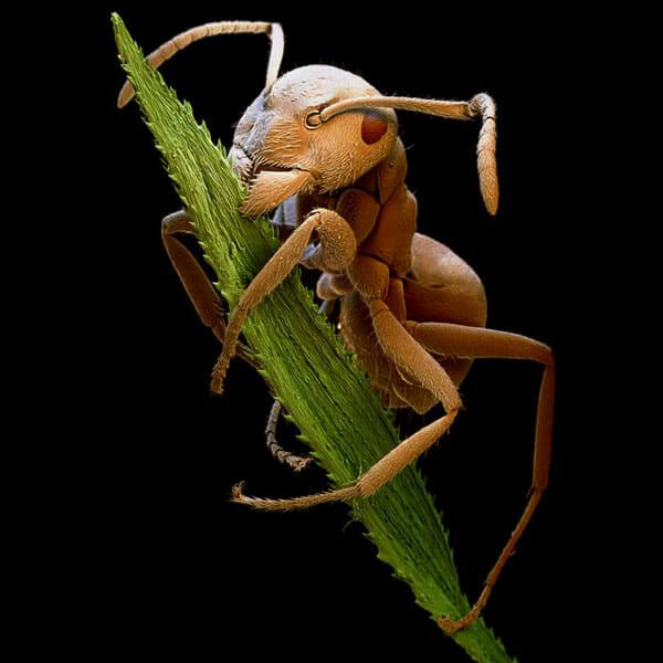 monstros-microscopios_2-formiga-comendo-grama