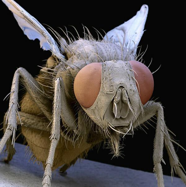 monstros-microscopios_6-mosca-domestica
