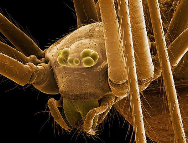 monstros-microscopios_9-pholcidae