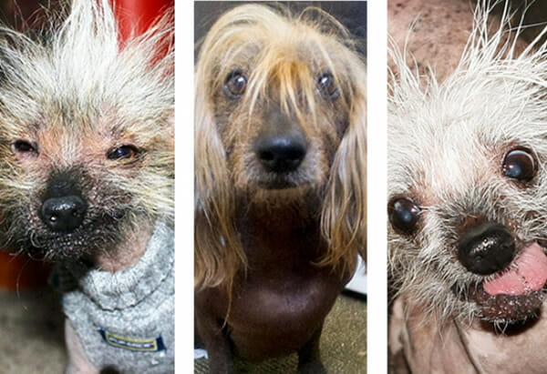 22 Imagens dos cães mais feios do mundo