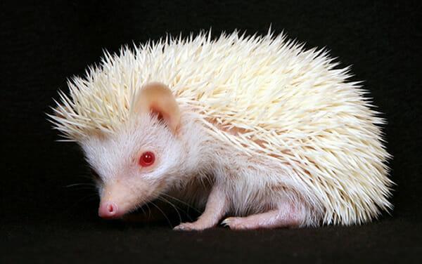 animais-albinos_10-ourico