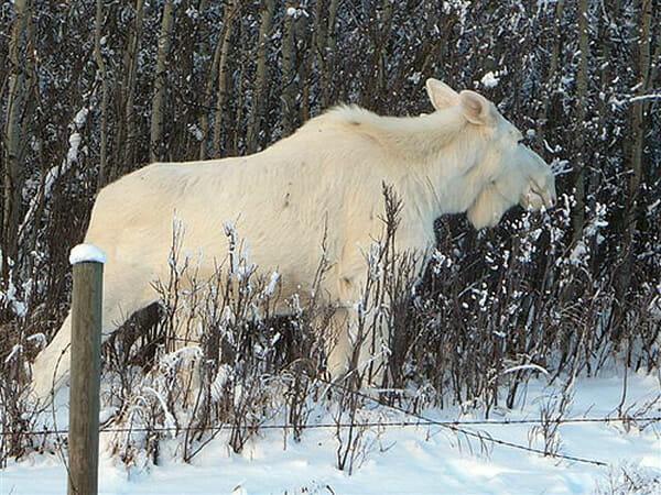 animais-albinos_11-alce