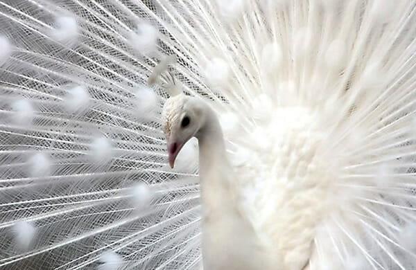 animais-albinos_12-pavao