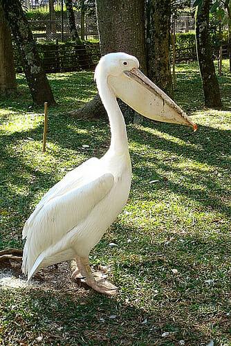 animais-albinos_13-pelicano