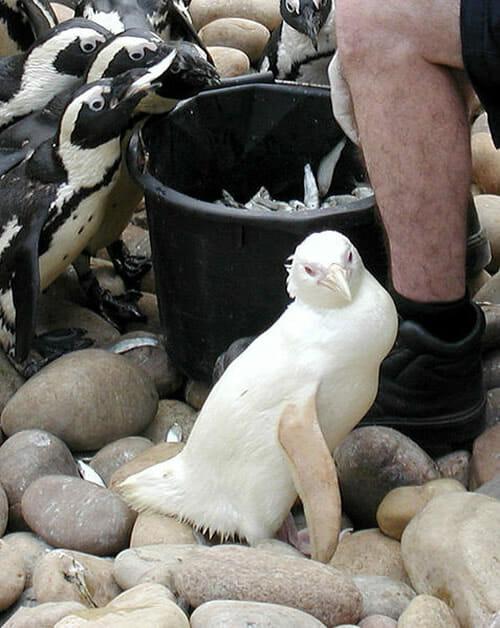 animais-albinos_14-pinguim