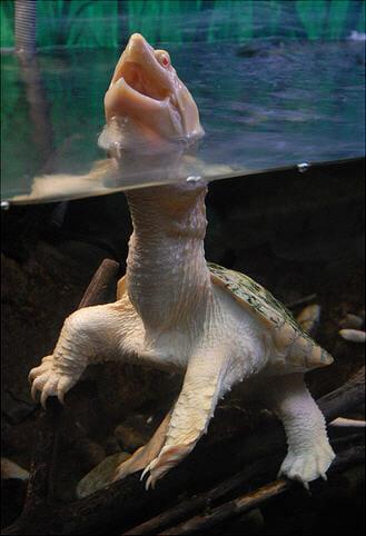 animais-albinos_18-tartaruga