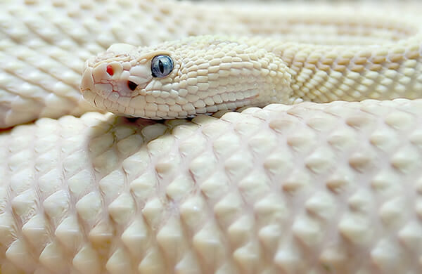 animais-albinos_19-cascavel