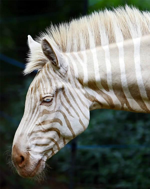 animais-albinos_2-zebra