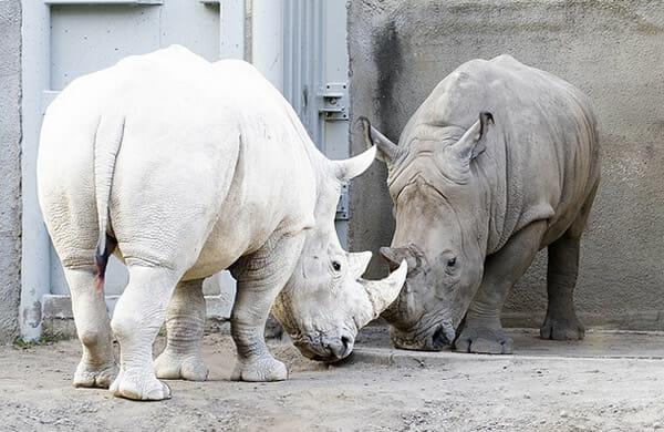 animais-albinos_21-rinoceronte