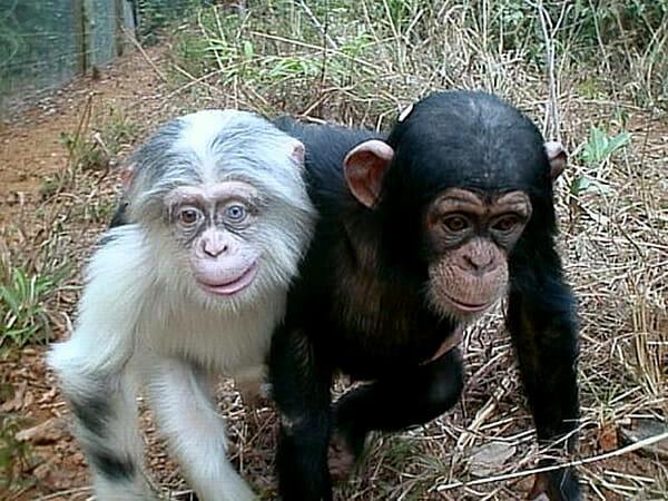 animais-albinos_4-chimpanze