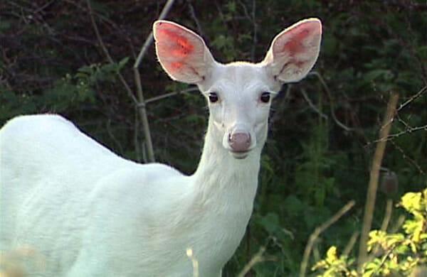 animais-albinos_5-veado