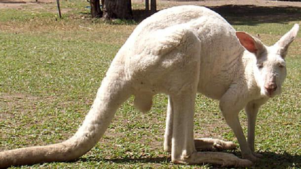 animais-albinos_6-canguru