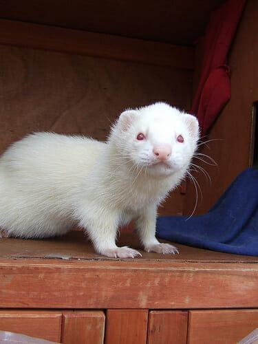 animais-albinos_7-furao