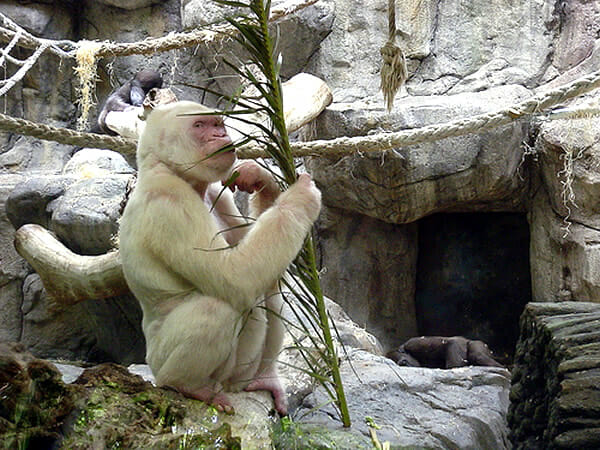 animais-albinos_9-gorila