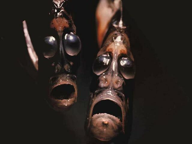 criaturas-mais-feias-e-bizarras_peixe-machadinho_1
