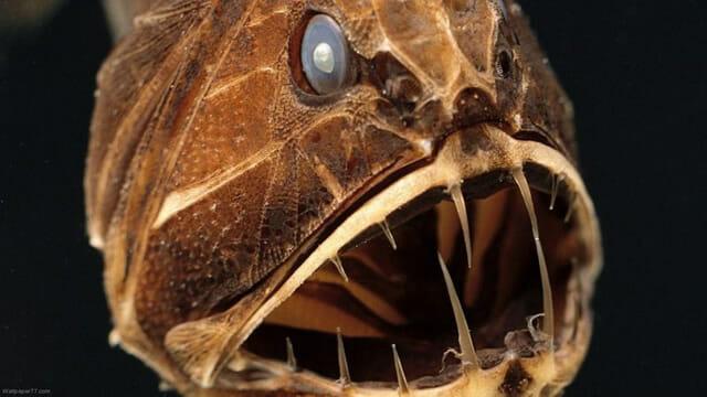 criaturas-mais-feias-e-bizarras_peixe-ogro_2