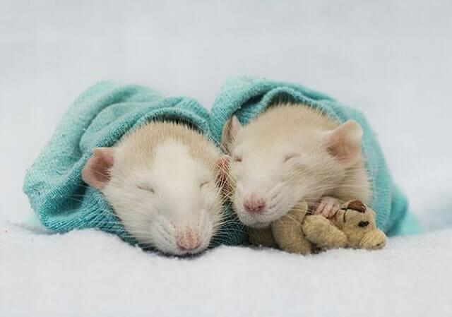 21 Imagens fofas de ratinhos com seus ursos de pelúcia