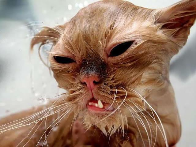 19 Fotos que provam que gatos absolutamente odeiam tomar banho