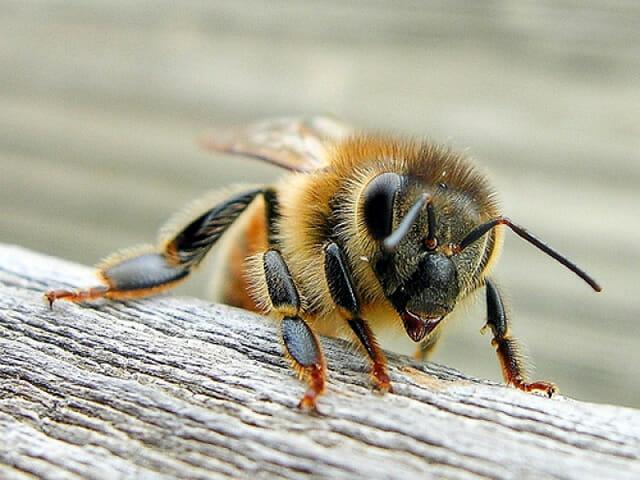 top-animais-mais-matam-humanos_15-abelha