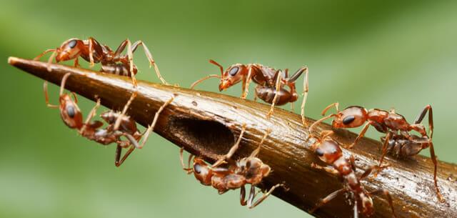 top-animais-mais-matam-humanos_16-formigas