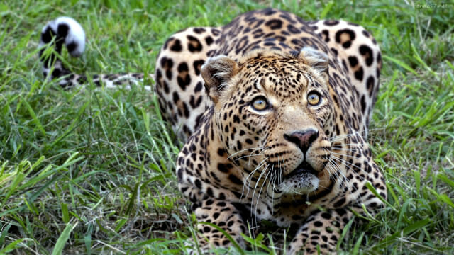 top-animais-mais-matam-humanos_19-leopardos