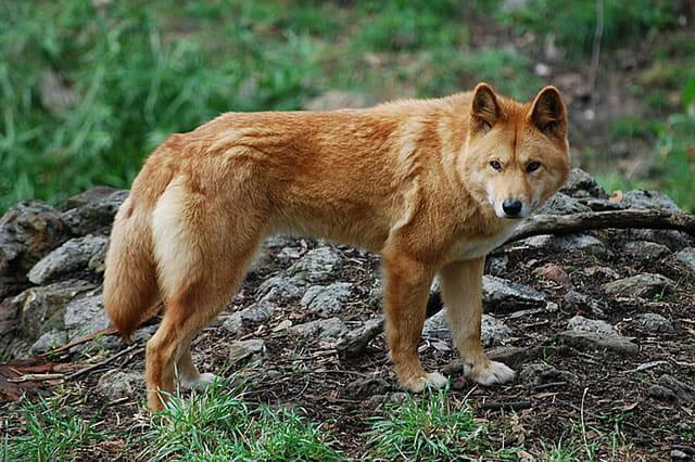 top-animais-mais-matam-humanos_24-dingo