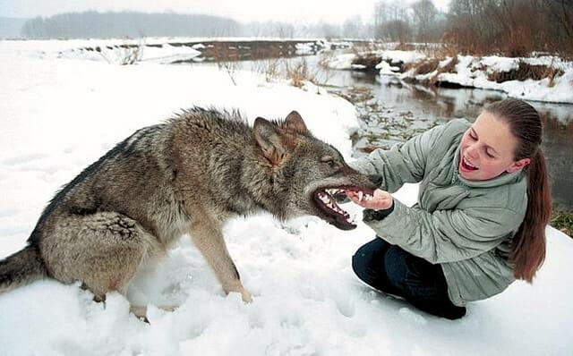 top-animais-mais-matam-humanos_25-lobo