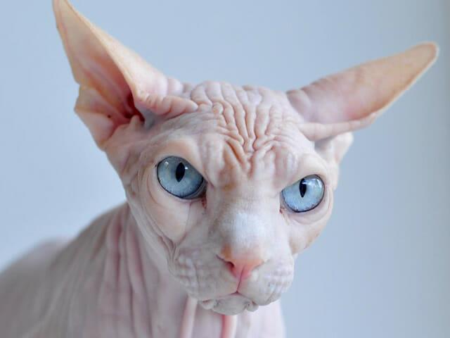 animais-incomuns_11-gato-sphynx
