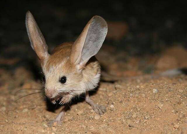 animais-incomuns_15-jerboa-orelha-longa