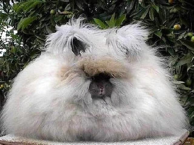 animais-incomuns_2-coelho-angora
