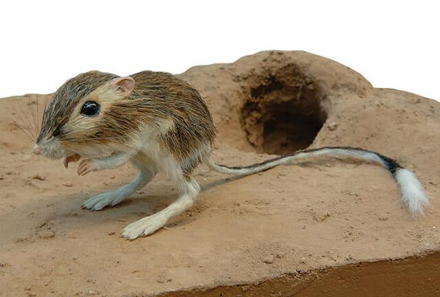 animais-incomuns_5-canguru-rato