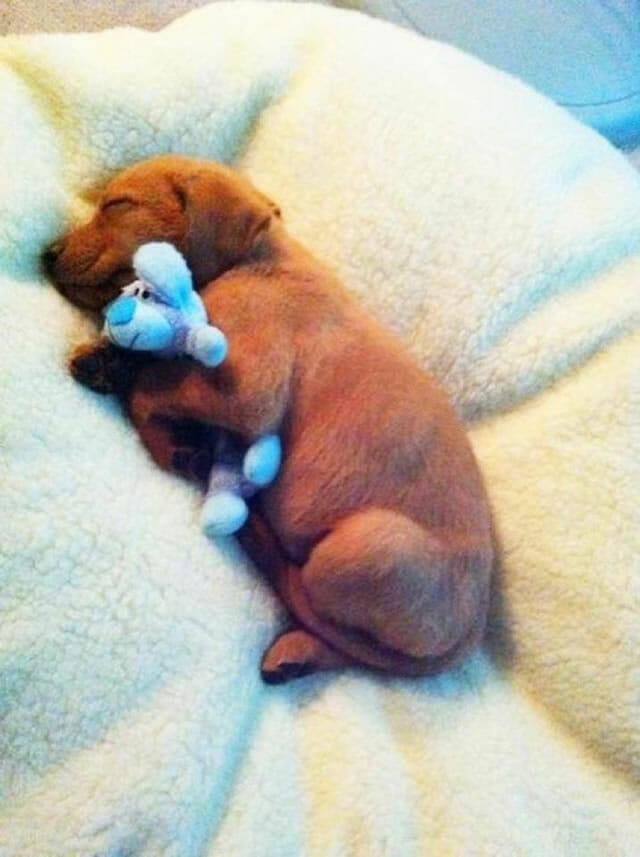 20 Fotos adoráveis de cães dormindo com seus bichos de pelúcia
