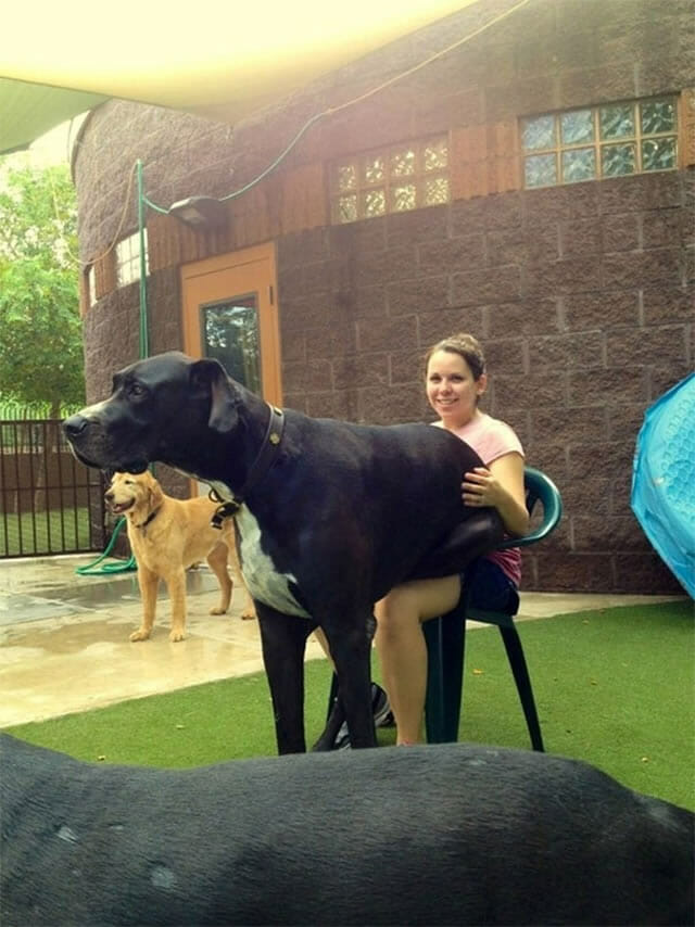 17 Cães incrivelmente grandes que pensam que são pequenininhos