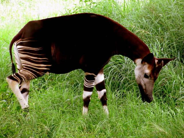 fosseis-vida-real_3-ocapi-girafa-floresta