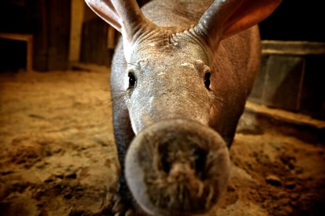 fosseis-vida-real_7-aardvark