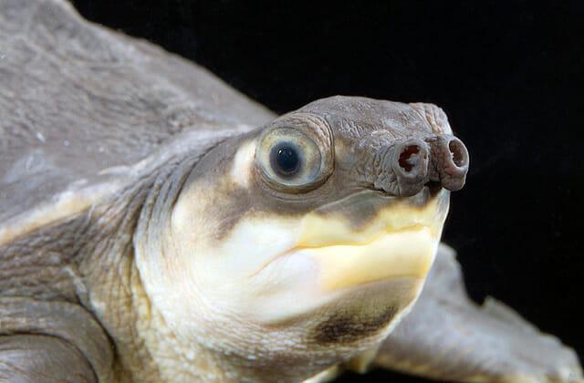 fosseis-vida-real_9-tartaruga-nariz-de-porco