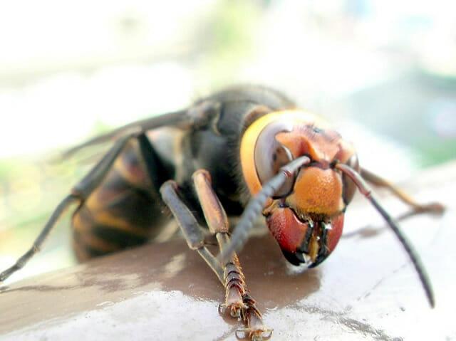 insetos-japoneses-terriveis_1