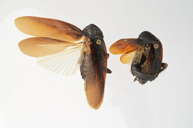 insetos-japoneses-terriveis_7