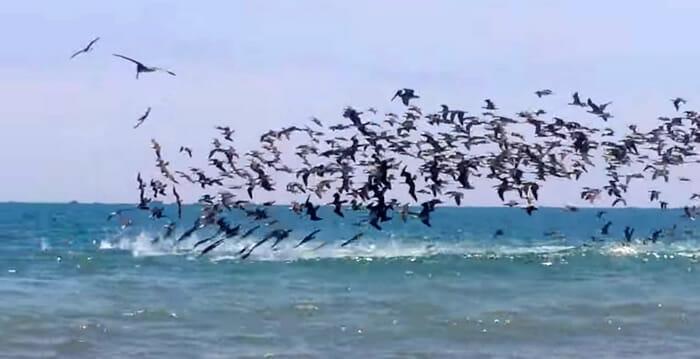ataque-pelicanos