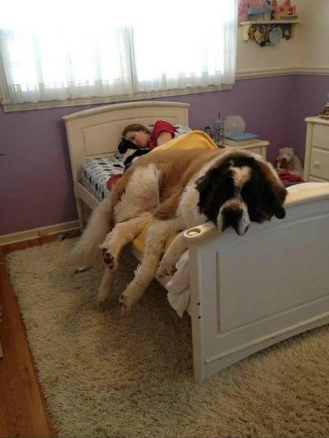 17 Cães incrivelmente grandes que pensam que são pequenininhos - Parte II