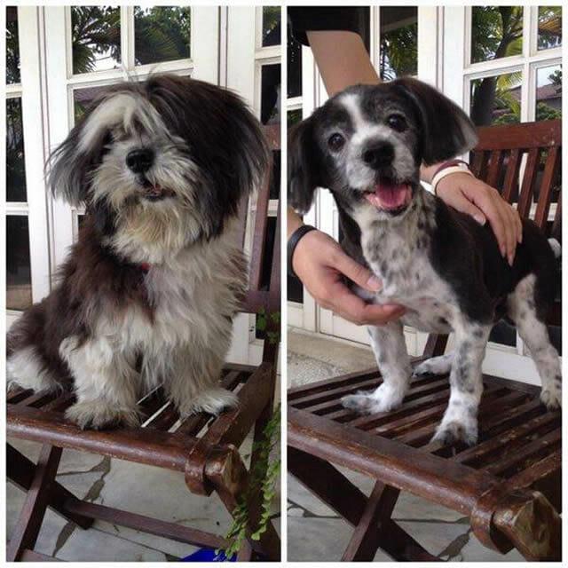18 Fotos engraçadas de cães que ficaram super diferentes com seus pelos tosados