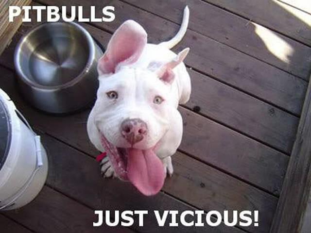 24 Imagens que farão você se apaixonar por Pitbulls