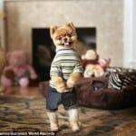 Conheça o Jiff, o cachorro recordista mundial em andar como nós humanos