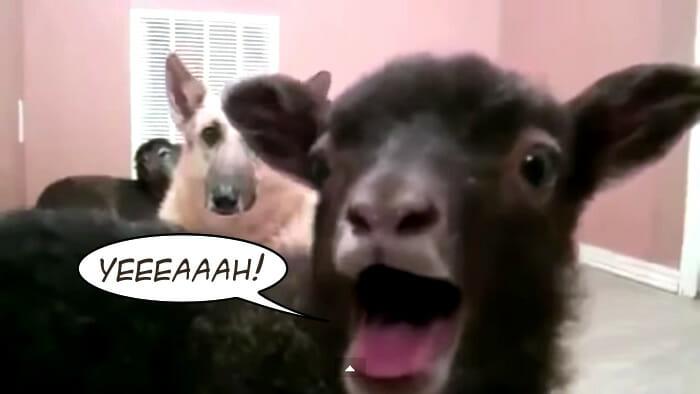 as-cabras-falam
