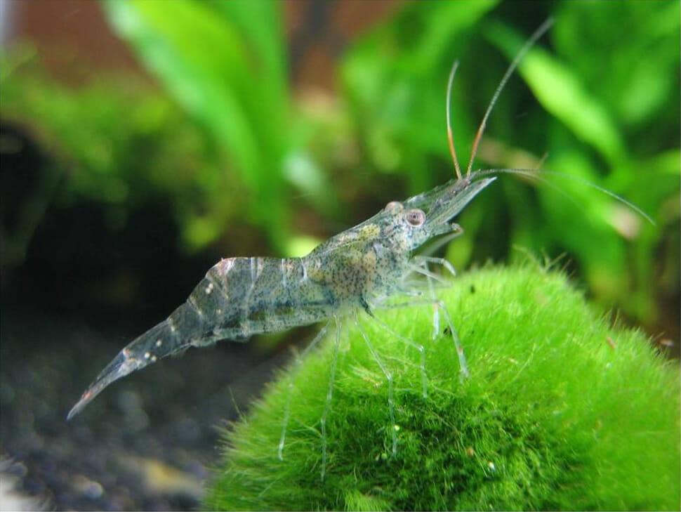 21 Espécies de animais e insetos transparentes incríveis que você talvez não conheça