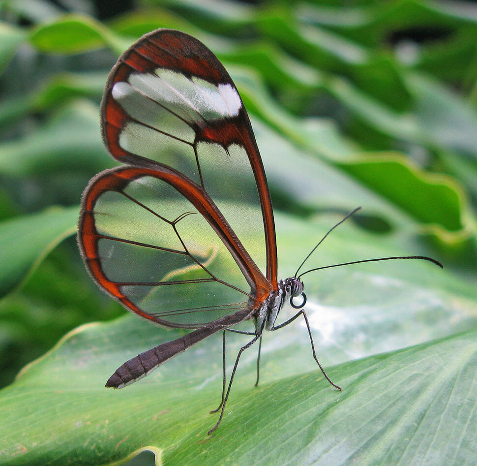 borboleta com a asa de vidro